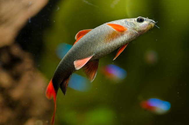 рыбка таиландский лабео