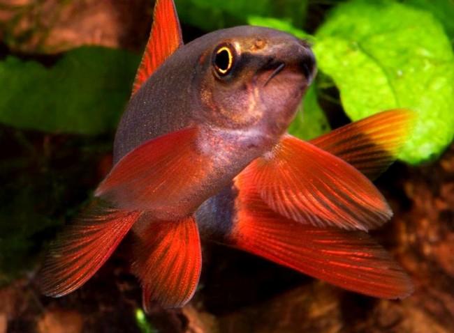 аквариумная рыбка лабео зеленый или френатус