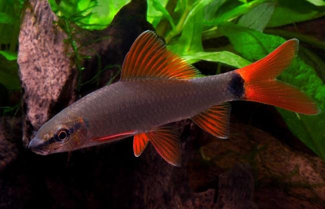 лабео френатус в аквариуме