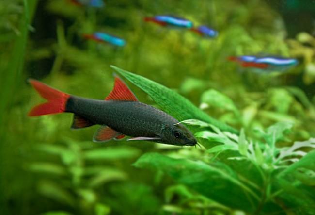 лабео зеленый плавает в аквариуме с другими рыбками