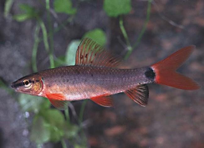 рыбка лабео зеленый плавает в аквариуме
