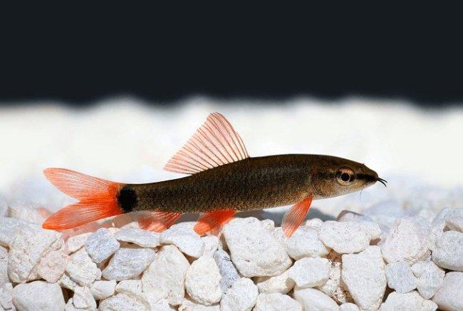рыбка лабео френатус у дна в аквариуме