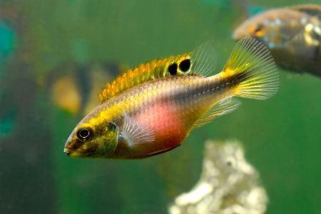 пельвикахромис плавает в аквариуме